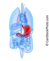 3d rendered illustration of human organs with highlighted stomach