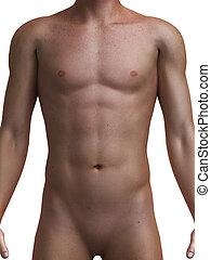 3d rendered medical illustration of a healthy male torso