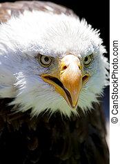 North American Bald Eagle