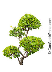 A bush of ornamental plants of bougainvilleas isolated over white background