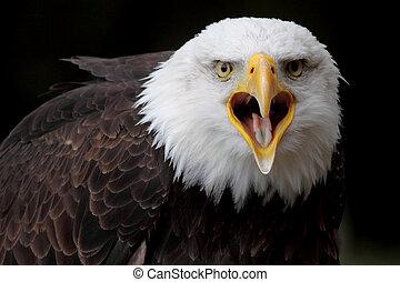 a portrait bald eagle
