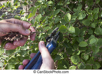 a woman pruning a lilac and removing the dead flowers