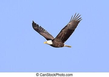 Adult Bald Eagle (haliaeetus leucocephalus) in flight against a blue sky