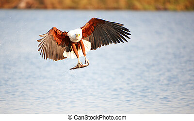 African Fish Eagle (Haliaeetus vocifer) in flight with fish in his claws in Botswana