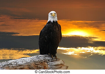 Alaskan Bald Eagle at sunset