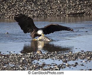 Alaskan Bald Eagle eating salmon
