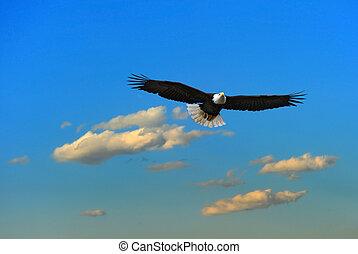Alaskan Bald Eagle flying