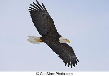 Alaskan Bald Eagle flying with blue sky