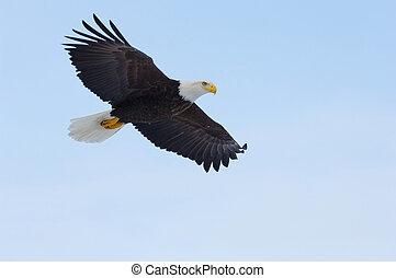 Alaskan Bald Eagle, Haliaeetus leucocephalus