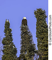 Alaskan Bald Eagle in spruce tree