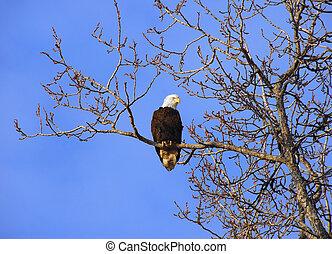 Alaskan Bald Eagle in tree at sunset