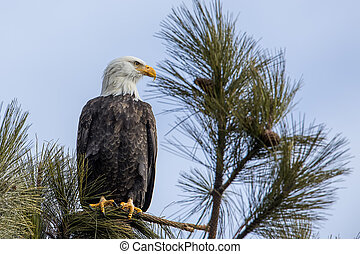 Alert bald eagle in a tree.