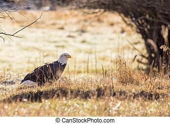 American Bald Eagle.