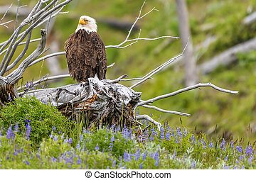 American bald eagle in a cottonwood tree at Yellowstone National Park