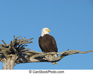 An Alaskan bald eagle (Haliaeetus leucocephalus) sitting proudly on a wooden branch against a bright blue sky