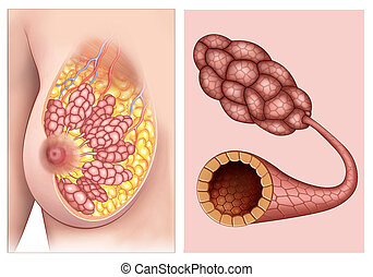 Anatomy and physiology of women's breasts