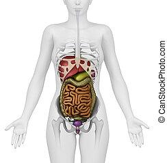 Anatomy of abdomen