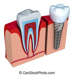 Anatomy of healthy teeth and dental