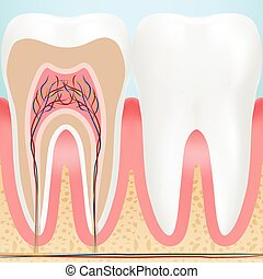 Anatomy Of Healthy Teeth Isolated On A Background. Vector Illustration.