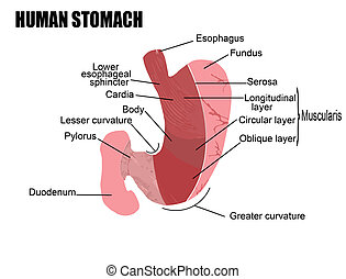 anatomy of human stomach, vector illustration (for basic medical education, for clinics & Schools)