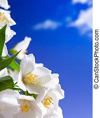 Art jasmine flowers background