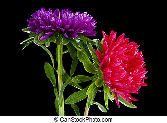 Aster flowers in drops of water on a black background