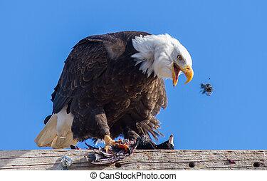 Bald Eagle Feeding on an American Coot