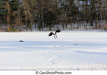 Bald Eagle Flight Attack