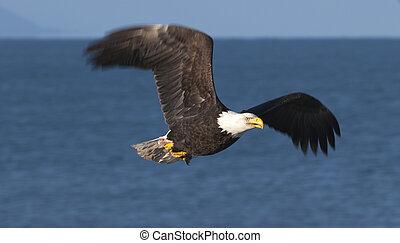 Bald eagle flying over blue water in Homer, Alaska in March