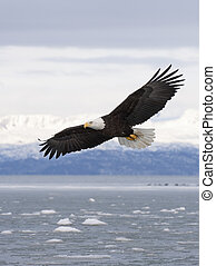 Bald eagle flying with over the bay with ice in water at Homer Alaska