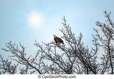 Bald Eagle in a tree enjoying the sunlight