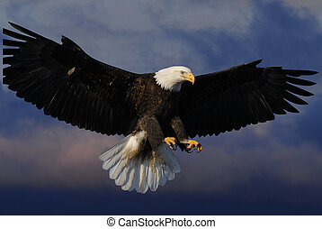 Bald Eagle in skies