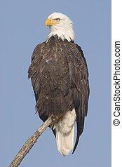 Bald Eagle in Tule Lake National Wildlife Refuge