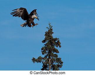 bald eagle landing in a tree