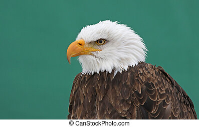 Bald Eagle on Green