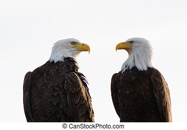 Bald Eagle Pair Facing Each Other