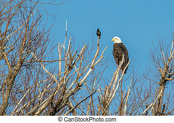 Bald eagle perched on a dead tree with a starling looking on