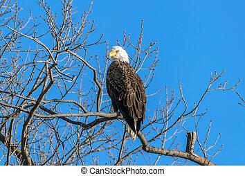 Bald Eagle Pride