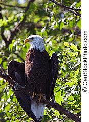 Bald Eagle Wings Slightly Spread in Tree