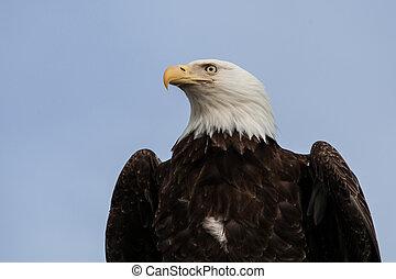 Bald Eagle with blue sky