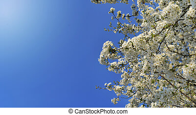 beautiful cherry tree blossoming on blue sky background in spring
