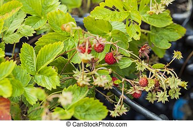 Beautiful close up view of wild strawberry bush isolated. Red berries and green leaves. Beautiful nature background.
