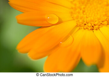 Beautiful flower with water drops on it's petals (Shallow DoF, focus on a drop)