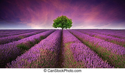 Beautiful image of lavender field Summer sunset landscape with single tree on horizon contrasting colors