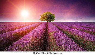 Beautiful image of lavender field Summer sunset landscape with single tree on horizon with sunburst