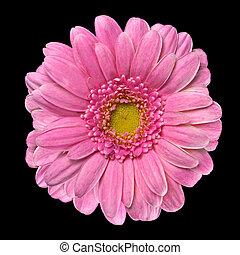 Beautiful Pink Gerbera Flower Isolated on Black