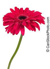 Beautiful pink gerbera flower