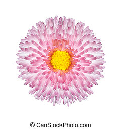 Beautiful Pink Perennial Daisy Flower Isolated on White