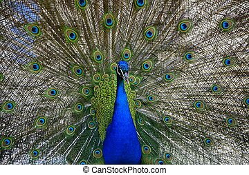 Beautiful, majestic, proud peacock with colorful tail exposed