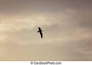 Beautiful Seagull silhouette flying on the sunset cloudy sky background